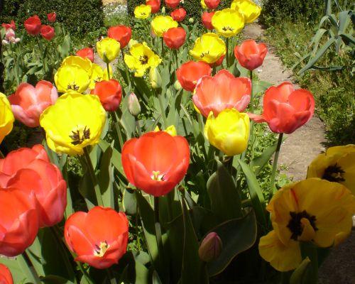 Tulpenbluhend1